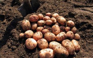 Посадка картофеля и новые способы посадки