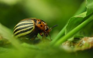 Борьба с колорадским жуком на картофеле