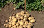 """Ранний картофель сорта """"Ривьера"""""""