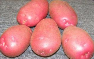 Картофель ранний сорт Беллароза