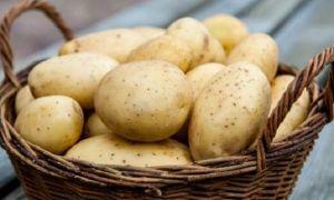 """Картофель сорта """"Агата"""" из Голландии"""