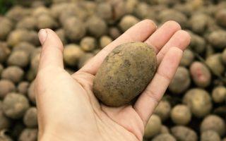 Как посадить картофель под зиму