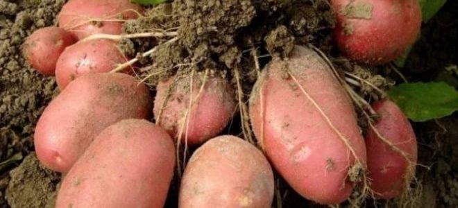 Австрийский сорт картофеля Рокко