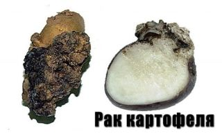 Самая опасная болезнь – рак картофеля
