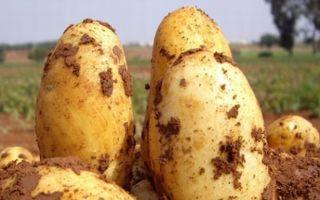 Новый сорт картофеля Уладар