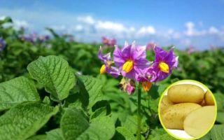 Сорт картофеля Колетте