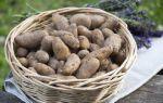 Картошка дикая родоначальник картофеля