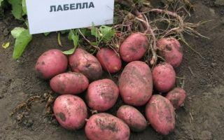 Лабелла -ранний картофель