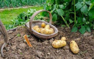 Как копают картошку