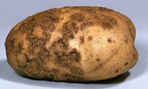 Бактериальные, вирусные и другие болезни  картофеля
