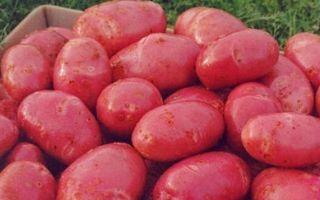 Популярный сорт картофеля Ред Скарлетт