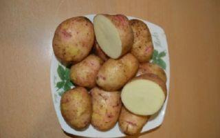 Вкусный сорт картофеля Аврора