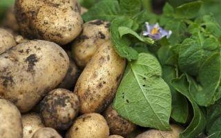 Когда были картофельные бунты