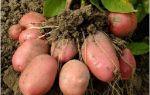 Высокоурожайный сорт картофеля Розара