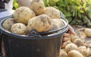 Самая распространенная болезнь картофеля – фитофтороз
