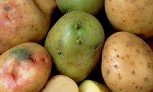 Почему и как зеленеет картошка
