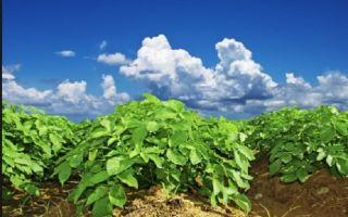Как вырастить картофель по голландской технологии