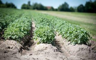 Сроки посадки картофеля