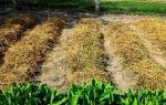 Как сажать картофель под солому
