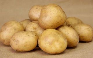Неприхотливый сорт картофеля Колобок