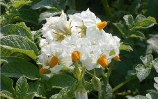 Популярный сорт картофеля – Невский