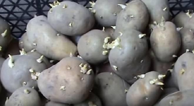 ростки картофеля