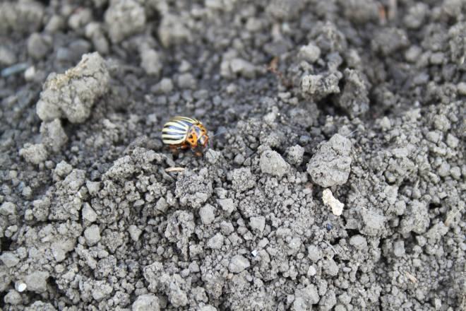 колорадский жук на земле