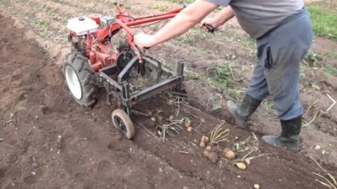 копаем картошку мотоблоком