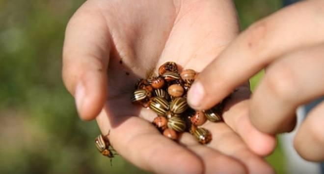 жуки и личинки на ладони