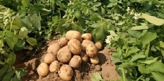 картофель гала на грядке