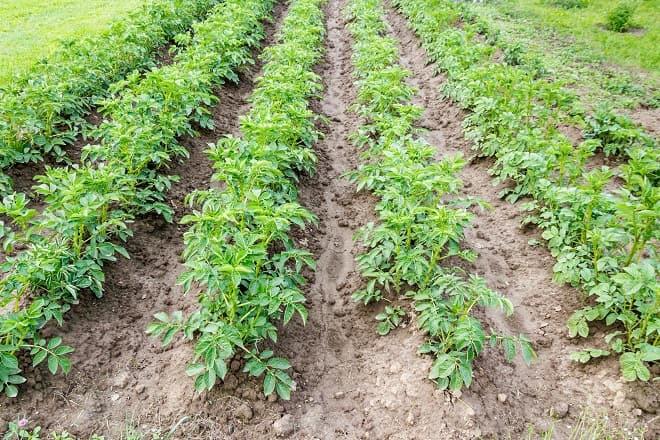 картофельные грядки