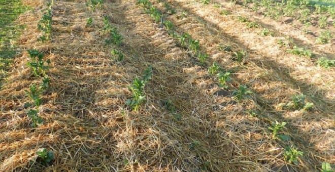 картошка под травой