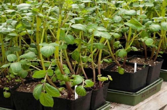проращивание из семян