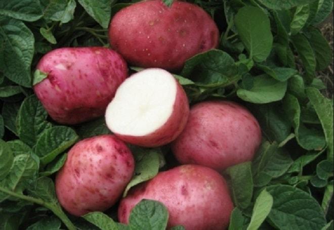 ранний картофель беллароза