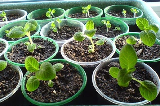 ростки картофеля из семян