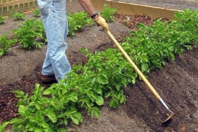 уход за сортом картофеля гала