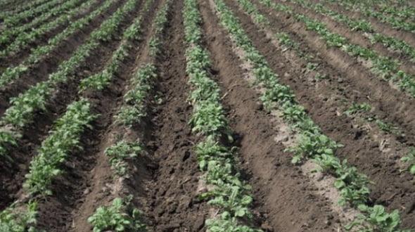 выращивание сорта картофеля гала