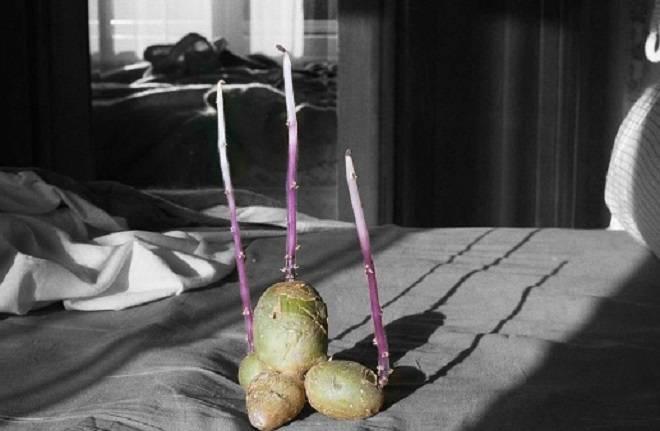 ростки из подмороженного картофеля