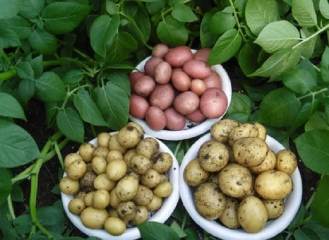 выбор картофеля на семена