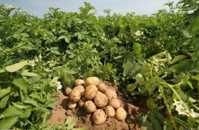описание картошки джелли