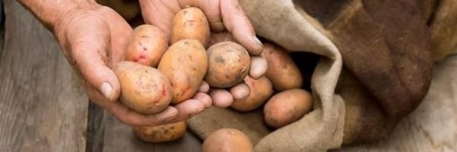 сорт картофеля джелли