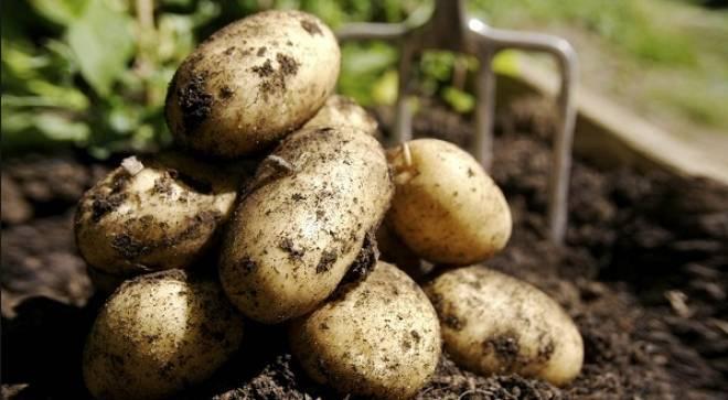 урожайность картофеля джелли