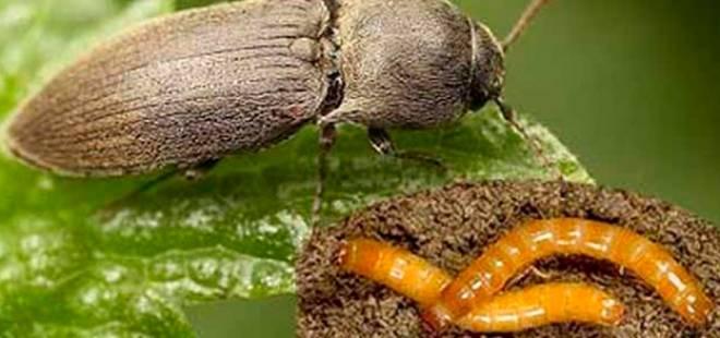 жук-щелкун и его личинка