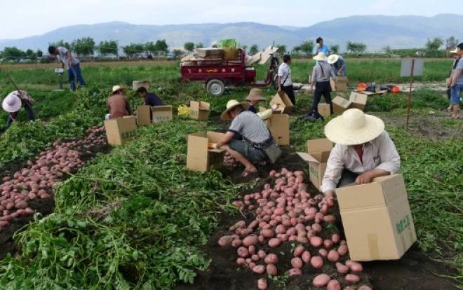картофель во франции