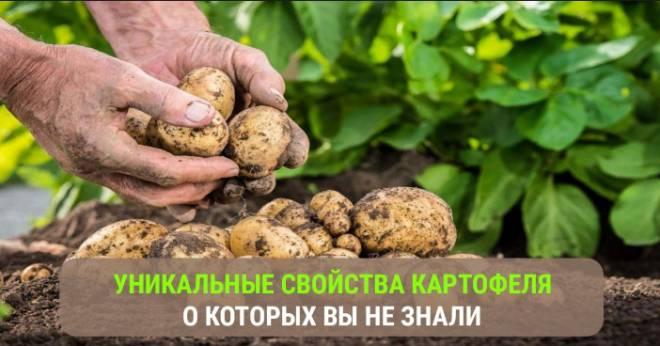 уникальные свойства картофеля