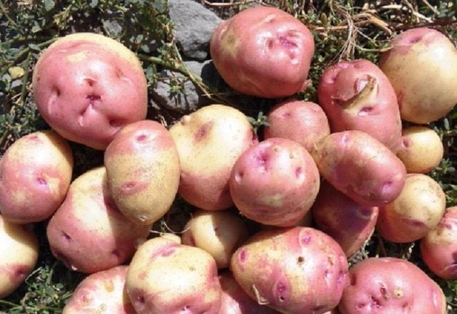 иван да марья сорт картофеля