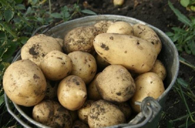 картофель чародей в ведре