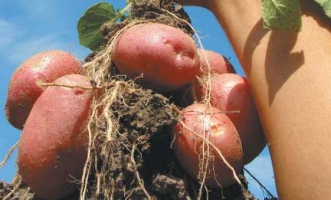 картофель сорта романо