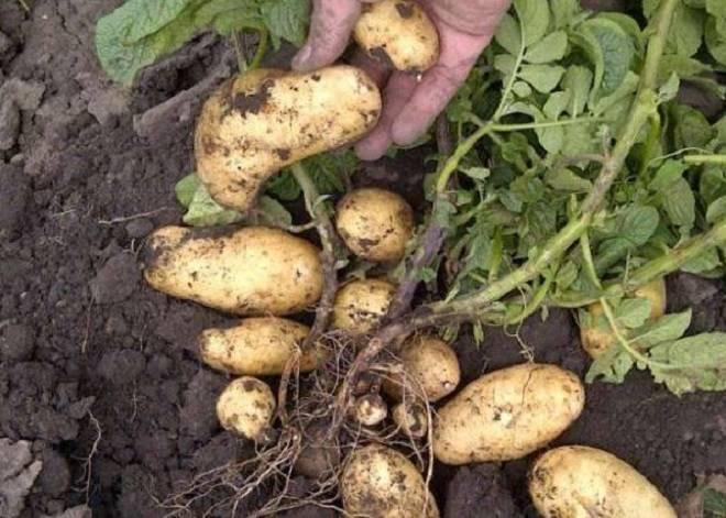 картофель в курне