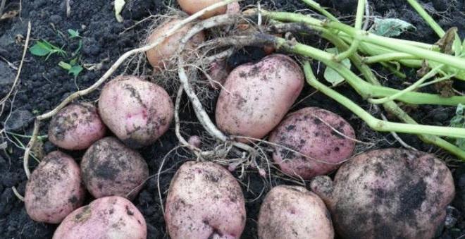 урожайность сорта картофеля романо